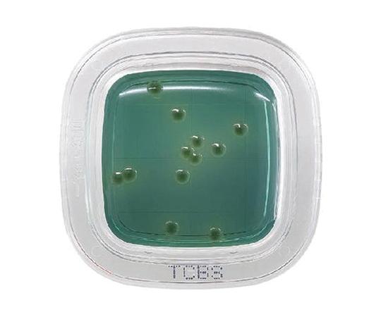 ぺたんチェック®DD TCBS寒天培地 PD0013(20枚)