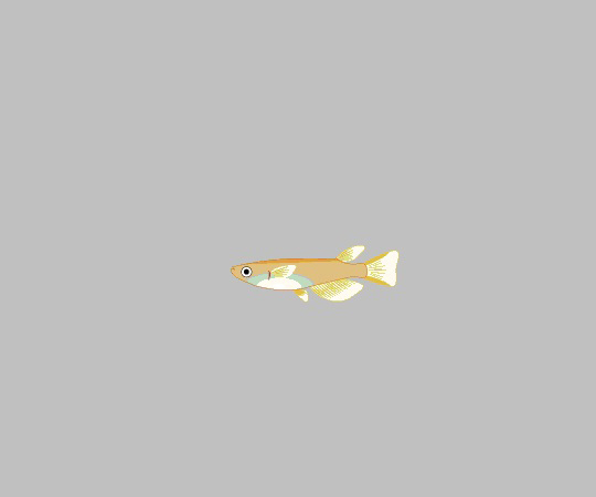 試験研究用魚類・両生類  ヒメダカ